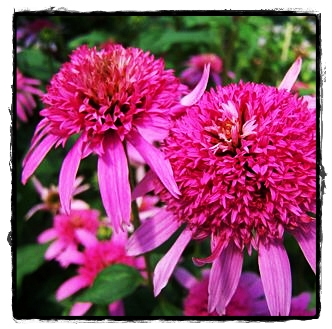 Coneflower Pink Double Delight