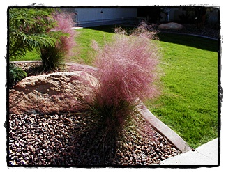 Regal Mist (Pink Muhly) Grass