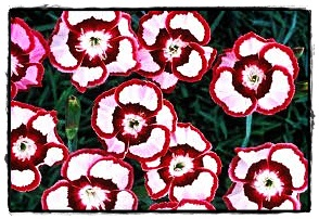 Rasberry Swirl Dianthus