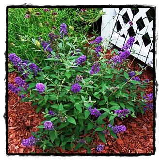 Lo & Behold Butterfly Bush