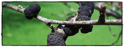 black-knot-3